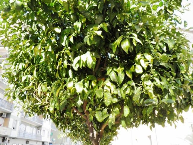 Crotone salviamo le piante di arancio in via veneto - Alberi adatti per viali ...